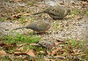 Mourning and Common Ground doves, GA (6)