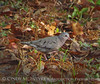 Common Ground Dove, GA (6)