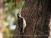 Yellow-bellied Sapsucker, imm  female, GA (11)