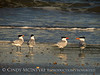 Royal Terns gossiping, Fernandina Beach FL (2)