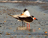 Black Skimmer and Royal Tern, Fernandina Beach FL (1)