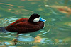 Ruddy Duck, FL