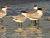 Banded Royal Tern, Fernandina Beach FL (2)