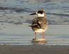 Least Tern, Fernandina Beach FL