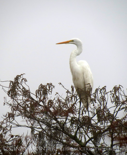 Great egret in fog, Banks Lake NWR GA (1)