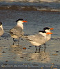 Royal Tern with leg band