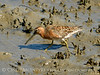 Short-billed dowitcher, Jekyll Is GA (5)