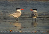 Royal Terns gossiping, Fernandina Beach FL (3)