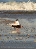 Black Skimmer and Royal Tern, Fernandina Beach FL (2)