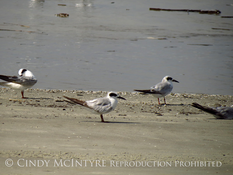 Forster's Terns, Jekyll Is GA (4)