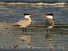 Royal Terns gossiping, Fernandina Beach FL (1)