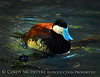 Ruddy duck male, FL