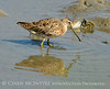 Short-billed dowitcher, Jekyll Is GA (1)