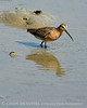 Short-billed dowitcher, Jekyll Is GA (2)