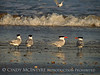 Royal Terns gossiping, Fernandina Beach FL (4)