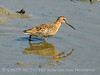Short-billed dowitcher, Jekyll Is GA (3)