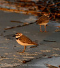 Wilson's Plover pair, male fg, Jekyll Is GA