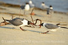 Laughing gulls courting, Jekyll Is GA (37)