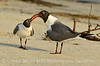 Laughing gulls courting, Jekyll Is GA (21)