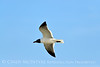 Laughing gull in flight, Jekyll Is GA (1)