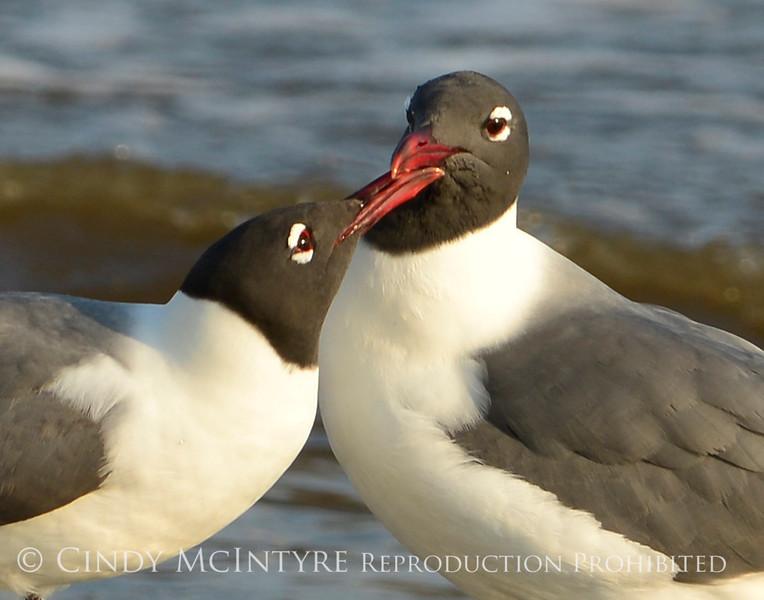 Laughing gulls courting, Jekyll Is GA (5)