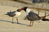 Laughing gulls courting, Jekyll Is GA (33)