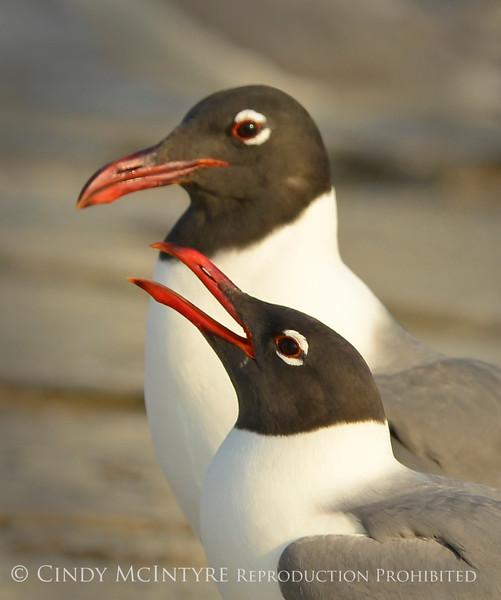 Laughing gulls courting, Jekyll Is GA (14)