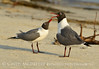 Laughing gulls courting, Jekyll Is GA (23)