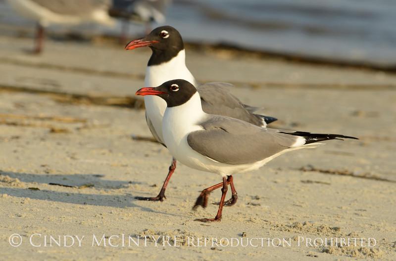 Laughing gulls courting, Jekyll Is GA (13)