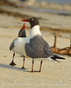 Laughing gulls courting, Jekyll Is GA (20)