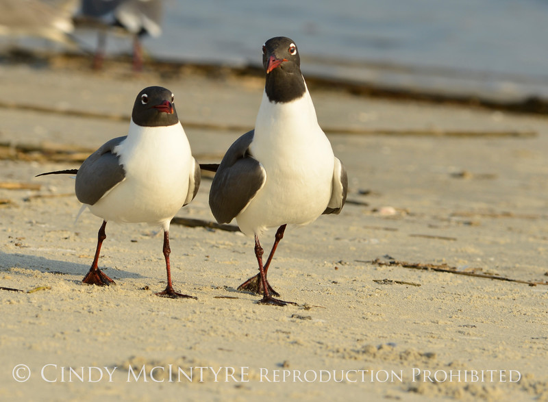 Laughing gulls courting, Jekyll Is GA (11)