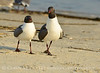 Laughing gulls courting, Jekyll Is GA (11)