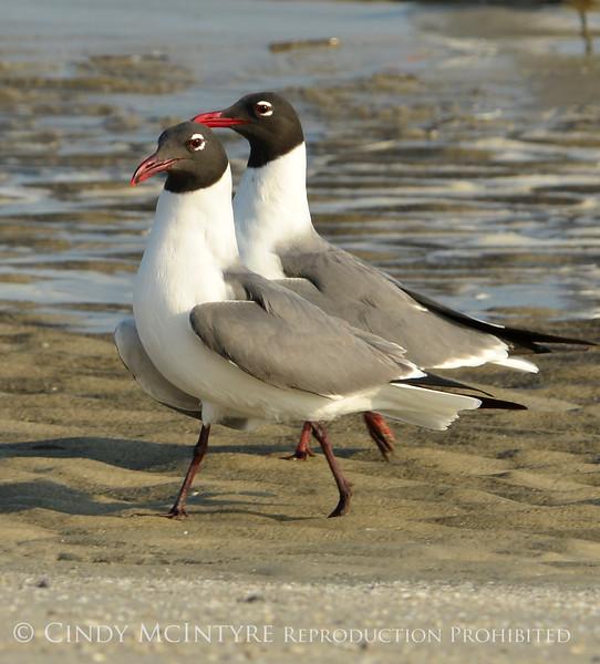 Laughing gulls courting, Jekyll Is GA (3)