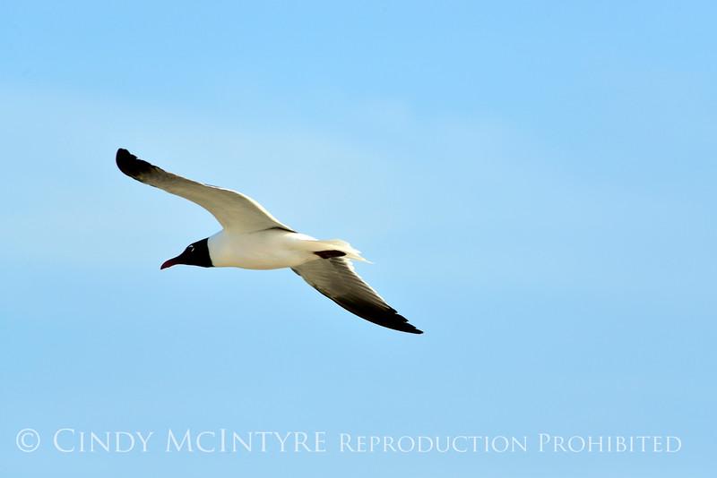 Laughing gull in flight, Jekyll Is GA (2)