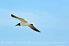 Laughing gull in flight, Jekyll Is GA (2)