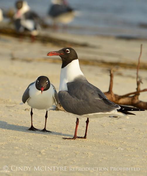 Laughing gulls courting, Jekyll Is GA (17)