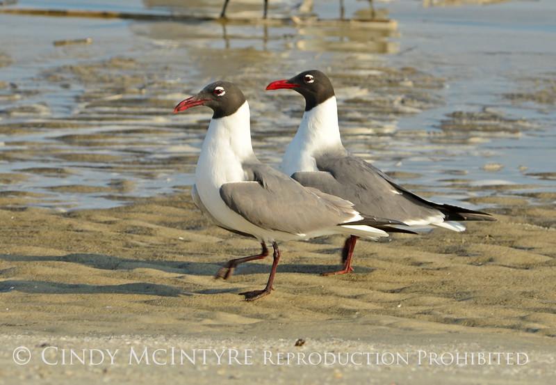 Laughing gulls courting, Jekyll Is GA (1)
