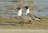 Laughing gulls courting, Jekyll Is GA (1)
