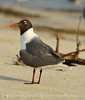 Laughing gulls courting, Jekyll Is GA (27)