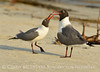 Laughing gulls courting, Jekyll Is GA (25)