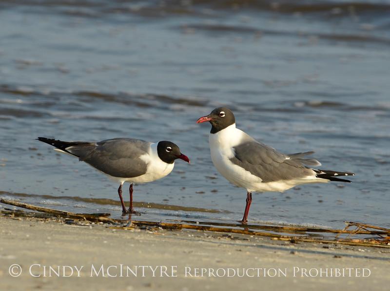 Laughing gulls courting, Jekyll Is GA (6)