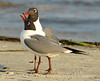 Laughing gulls courting, Jekyll Is GA (9)