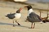 Laughing gulls courting, Jekyll Is GA (28)