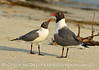 Laughing gulls courting, Jekyll Is GA (26)