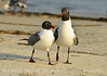 Laughing gulls courting, Jekyll Is GA (12)