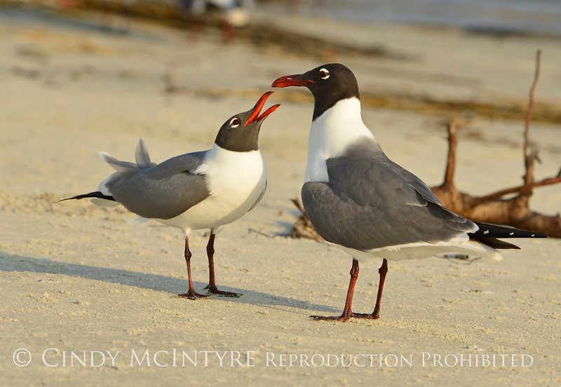 Laughing gulls courting, Jekyll Is GA (18)