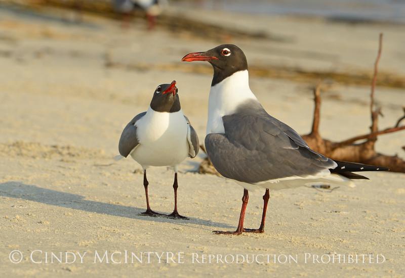 Laughing gulls courting, Jekyll Is GA (16)