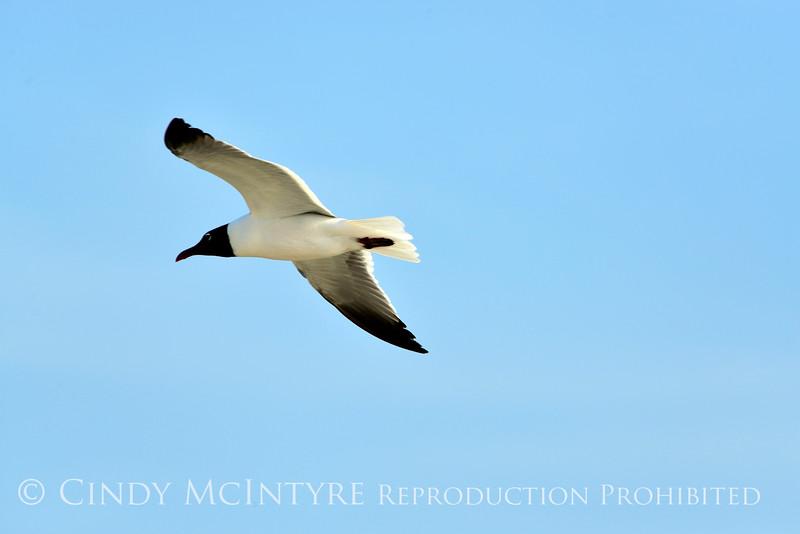 Laughing gull in flight, Jekyll Is GA
