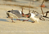 Laughing gulls courting, Jekyll Is GA (34)