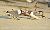 Laughing gulls courting, Jekyll Is GA (36)